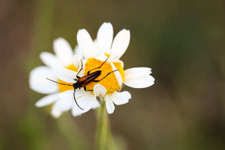 A brownish beetle on a blossom