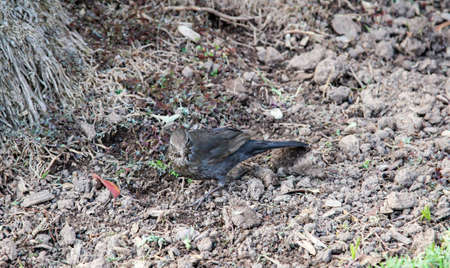 A blackbird, songbird on the ground