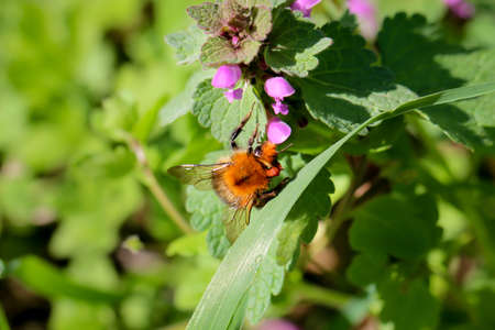 A bumblebee on a deadnettle