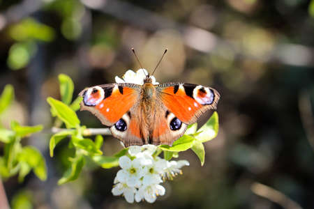 One-day peacock butterfly on white flowers