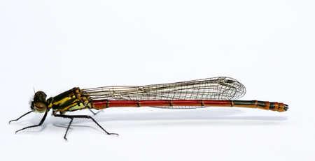 Macro of Adonis dragonfly (Pyrrhosoma nymphula) 写真素材