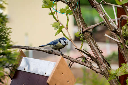 A tit that feeds and feeds its young at my garden and bird house Reklamní fotografie