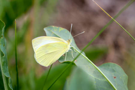 Macro of a lemon moth Stockfoto