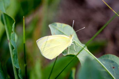 Macro of a lemon moth Imagens