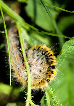 A caterpillar of a blackberry spinner on a plant
