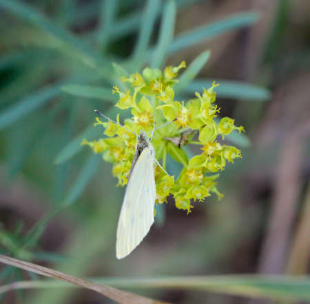 A cabbage white on a plant