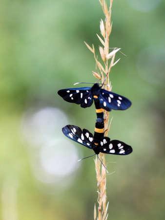 Two white dot rambling at the mating 版權商用圖片