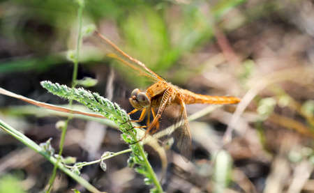 Portrait, macro of a dragonfly