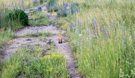 A young fox is running along a path Stock Photo