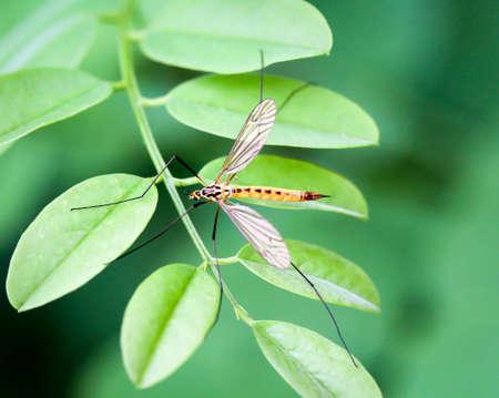 Macro of a snake, legged mosquito