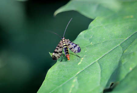 A fly, insect on a plant, scorpion fly 스톡 콘텐츠