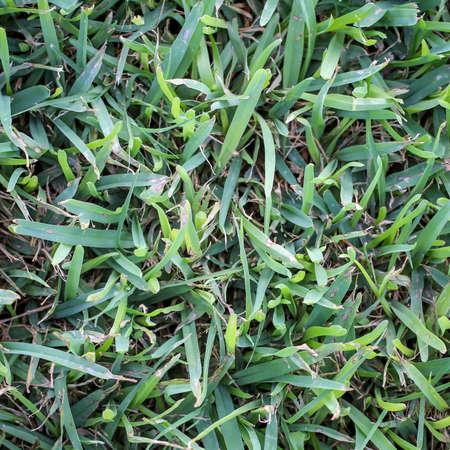Grass, lawn, a texture of grass blades, grass and lawn texture Reklamní fotografie - 133053599