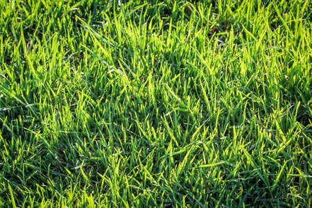 Grass, lawn, a texture of grass blades, grass and lawn texture