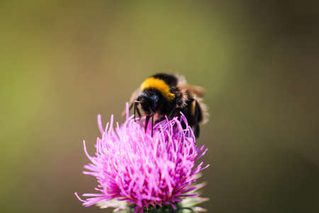 A bumblebee seeks food on a milk thistle