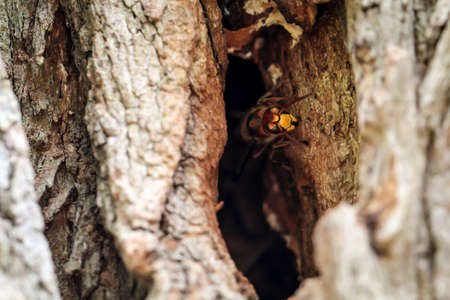 Hornets come out of their burrow in a hollow tree trunk Banque d'images - 134800116
