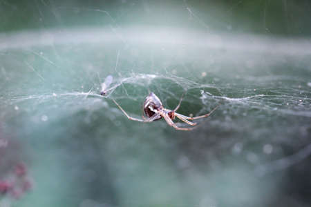 Macro of a Nero peltata  forest canopy spider on web