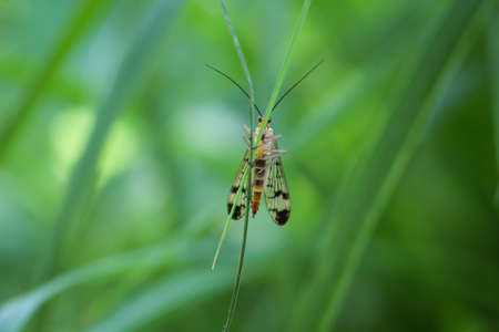 Macro of a scorpion fly on a grass blade Фото со стока