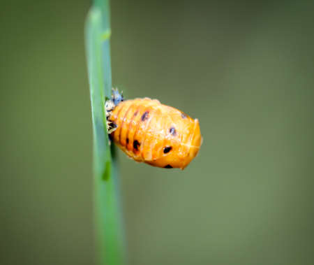 Macro of a larva of a ladybug on a blade of grass