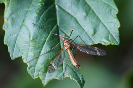 Macro of a long legged mosquito, or snake