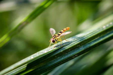 A hoverfly has settled on a blade of grass