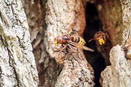 Hornets come out of their burrow in a hollow tree trunk