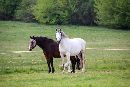 Horses, stallion, mare on a farm, paddock while grazing