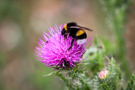 A bumblebee seeks food on a flower