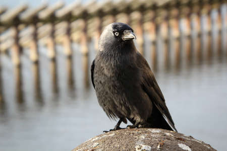 Portrait of a jackdaw, the jackdaw is a songbird species and belongs to the ravens