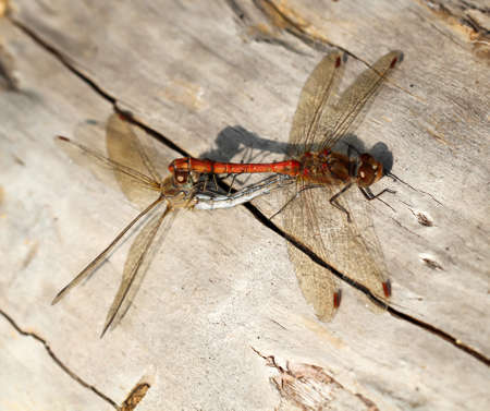 Dragonfly, magnificent dragonfly or small dragonfly in autumn
