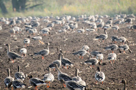 Wild geese on a piece of field look for edible