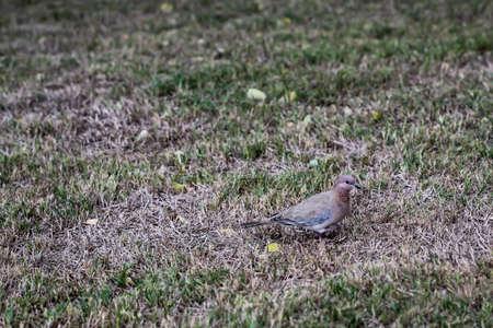 A pigeon-like bird native to Saudi Arabia