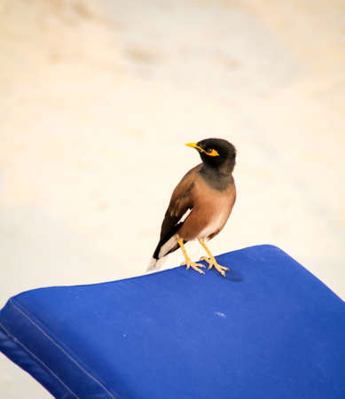 The Hirtenmaina or the shepherds star (Acridotheres tristis) is an originally Asian songbird species from the family of starlings Reklamní fotografie