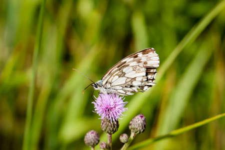 A checkerboard butterfly on a plant in a meadow Reklamní fotografie