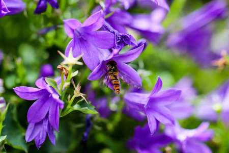 A hoverfly flies from flower to flower