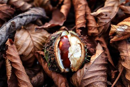 A cracked chestnut lies on the forest floor Reklamní fotografie