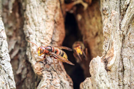Hornets come from their burrow in a tree trunk
