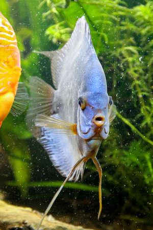 Portrait, view of a discus fish in the aquarium