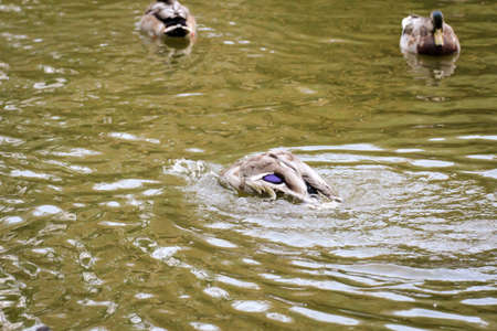 Portrait of a mallard, a duck by a pond