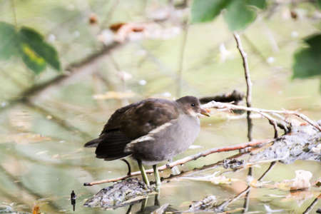 Portrait, view of a pond rail, ralle at the pond
