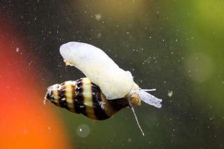 A predatory snail, Clea Hellena in the aquarium