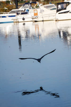 A gray heron flies with wide-reaching wings on the river Saale Reklamní fotografie