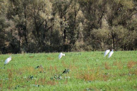 Granich. Heron in a field, a meadow in search of food Reklamní fotografie
