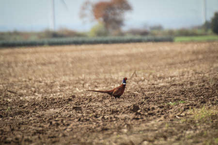 A pheasant, golden pheasant can be observed on a harvested field.
