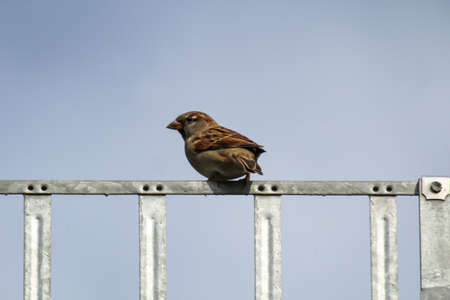 A sparrow sits on a snow guard on a roof