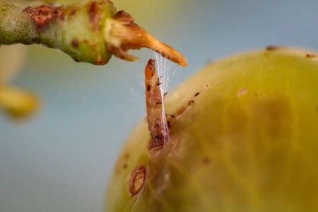 A maggot comes from a bunch of grapes and spins itself with silk