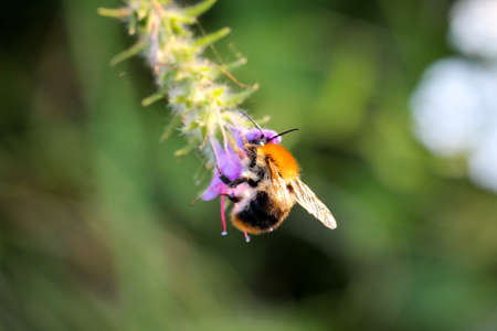 A bumble bee sits on a purple flower and collects nectar