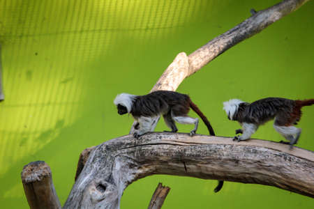 Close up of Bald marmosets on branches