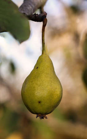 A ripe pear hangs on a pear tree in late summer