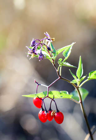 A plant with purple flowers and red berries Archivio Fotografico