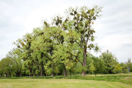 Mistletoe (Mistletoe) - balls on trees, a growing parasite. mistletoe infestation on a birch against the background of a summer blue sky bottom view.